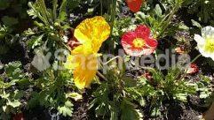 Anemone, Anther, Araceae, Arenaria, Asteraceae, Blossom, Bush, Daffodil, Dahlia, Flower, Garden, Gardening, Geranium, Herbal, Herbs, Hibiscus, Jar, Jungle, Land