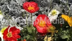 Anemone, Anther, Art, Asteraceae, Blossom, Bush, Carnation, Dahlia, Daisies, Daisy, Floral Design, Flower, Flower Arrangement, Geranium, Graphics