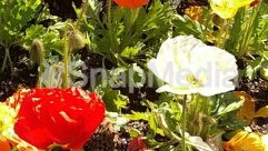 Anemone, Anther, Araceae, Asteraceae, Bazaar, Blossom, Bud, Dahlia, Flower, Garden, Gardening, Geranium, Herbs, Hibiscus, Jar, Land, Leaf