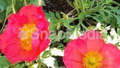 Anemone, Anther, Blossom, Carnation, Flower, Geranium, Hibiscus, Peony, Petal, Plant, Pollen, Poppy