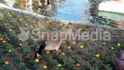 Anemone, Animal, Aster, Bird, Blossom, Bush, Daisies, Daisy, Duck, Field, Flower, Forest, Goose, Grass, Grassland, Grove, Ice, Jar, Land, Landscape, Nature, Outdoors, Path, Plant, Planter