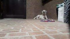 Pet, Dog, Canine, Flooring, Strap, Rug, Labrador Retriever, tail wag