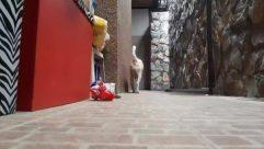 Flagstone, Floor, Path, Flooring, Walkway, Clothing, Apparel, Animal, Pet, Canine, Dog, Mammal, Building, Sidewalk, Pavement