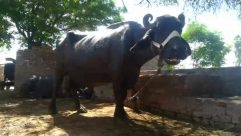 Animal, Bull, Mammal, Cattle, Ox, Cow, Buffalo, Wildlife, Horse, Longhorn, Zoo, Angus, Elephant