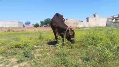 Mammal, Cow, Animal, Cattle, Nature, Outdoors, Field, Grassland, Countryside, Bull, Dairy Cow, Rural, Farm, Pasture, Ox