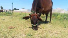 Cattle, Animal, Cow, Mammal, Machine, Spoke, Outdoors, Grassland, Field, Nature, Wheel, Bull, Horse, Countryside, Gear