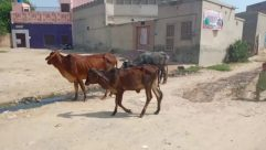 Cattle, Cow, Mammal, Animal, Person, Bull, Nature, Outdoors, Horse, Urban, Wildlife, Antelope, Countryside, Dairy Cow, Building