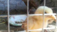 Animal, Bird, Fowl, Poultry, Mammal, Chicken, Hen, Pet, Vulture, Canine, Zoo, Beak, Dog, Window, Den