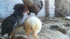 Animal, Bird, Fowl, Poultry, Chicken, Hen, Beak, Mammal, Vulture, Pet, Canine, Dog, Finch, Turkey Bird, Rubble