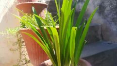 Plant, Vase, Jar, Potted Plant, Pottery, Planter, Herbs, Yard, Nature, Outdoors, Flower, Blossom, Food, Produce, Iris