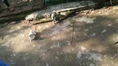 Apparel, Clothing, Animal, Bird, Flagstone, Nature, Person, Dress, Rock, Outdoors, Path, Mammal, Soil, Water, Puddle