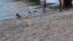 Waterfowl, Duck, Mallard, Agelaius, Blackbird, Water, Goose, Outdoors, Nature, Mud, River, Beach, Sand, shore