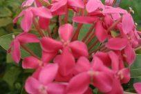 Flower, Geranium, Plant, Blossom, Petal, Acanthaceae, Vegetation, Bush, Flower Arrangement, Flower Bouquet, Pollen, Leaf, Amaryllidaceae, santan flower