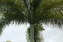 Tree, Plant, Arecaceae, Palm Tree, Abies, Fir, Conifer, Vegetation, Pine