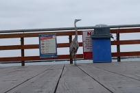 Bird, Boardwalk, pier