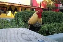 Bird, Fowl, Poultry, Chicken, Housing, Building, House, Villa, Neighborhood, Plant, Bush, Vegetation, Cock Bird, Rooster, Furniture