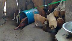 Canine, Pet, Dog, Puppy, Husky, Bulldog, Cattle, Cow, Hound, Boston Bull, Pitbull, Zoo, Wildlife, Bucket, Boxer