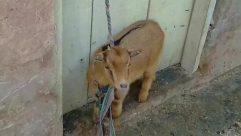 Goat, Wildlife, Antelope, Zoo, Mountain Goat, Bird, Strap, Pet, Canine, Dog, Cattle, Cow, Golden Retriever, Fox, Leash