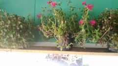 Plant, Vase, Pottery, Jar, Potted Plant, Flower, Blossom, Geranium, Planter, Water, Garden, Vegetation, Bush, Herbs, Balcony