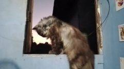 Pet, Canine, Dog, Cat, Hound, Wildlife, Wolf, Kitten, Bear, Manx, Furniture, Asleep, Sleeping, Puppy, Afghan Hound