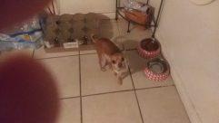 Dog, Pet, Canine, Chihuahua, Floor, Puppy, Hound, Furniture, Bulldog, Flooring, Cat, Boxer, Room, Labrador Retriever, Golden Retriever