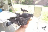 Furniture, Chair, Bird, Pigeon, Dove, Beak, Jay, Agelaius, Blackbird, Grass, Plant, Crow, Parrot
