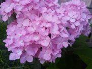 Plant, Blossom, Petal, Flower, Geranium, Dahlia, Lilac, Peony, Aster, Rug, Jar, Potted Plant, Pottery, Vase, Vegetation