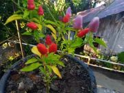 Plant, Pottery, Vase, Potted Plant, Jar, Blossom, Flower, Planter, Petal, Tree, Vegetation, Soil, Pepper, Food, Vegetable