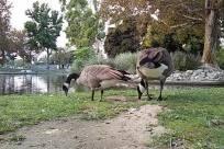 Bird, Goose, Zoo, Grass, Plant, Waterfowl, Vegetation, Bush, Lawn, Park, Water, Path, Road, Beak, Furniture