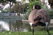 Bird, Goose, Water, Pond, Grass, Plant, Waterfowl, Poultry, Chicken, Fowl, Beak, Zoo, Pig, Duck, Park