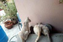 Pet, Cat, Bucket, Home Decor, Siamese, Canine, Dog, Barrel, Manx, Kitten, Rain Barrel, Abyssinian, Bird, Husky, Furniture