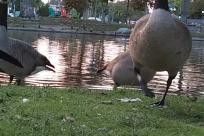 Bird, Goose, Flood, Waterfowl, Yard, Grass, Plant, Shelter, Rural, Countryside, Building, Water, Duck, Beak, Land