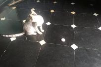 Floor, Cat, Pet, Flooring, Tile, Hail, Slate, Abyssinian