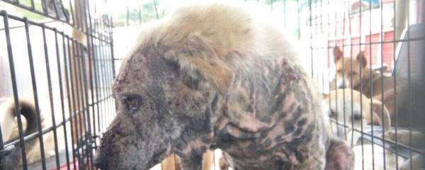 Neglected Dog Rescued with Skin Conditions From Swyambhu ...