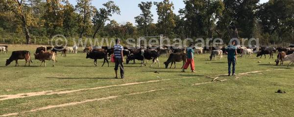 Cows Brought to New Place – Update on Kailali's Cow
