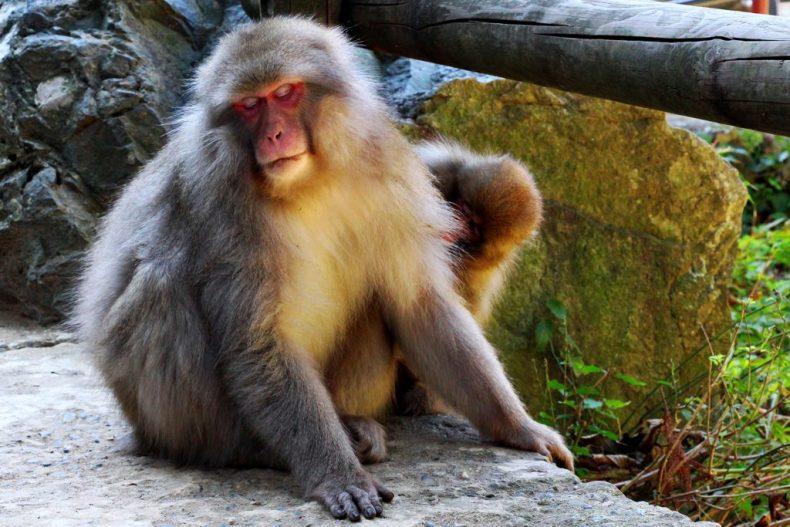Monkeys park - Jigokudani