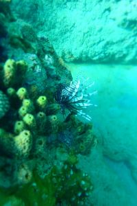 Lion Fish Tobago