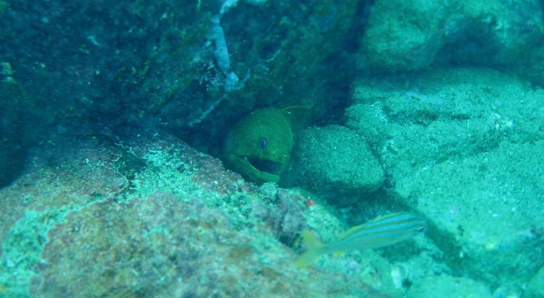 Video of Green Moral Eel Tobago