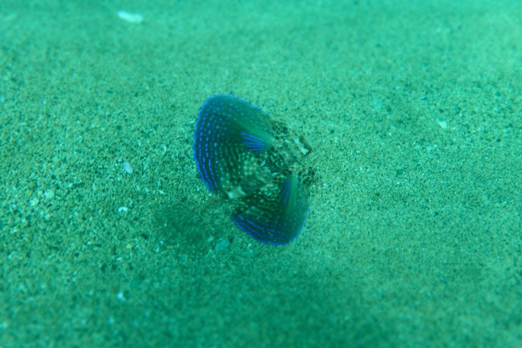 Flying Gurnard Wings Out