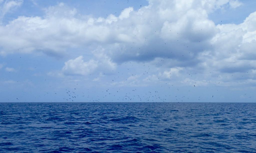 Flock of Birds hunting flying fish