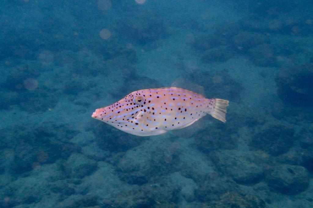 Scrawled File Fish, Tobago