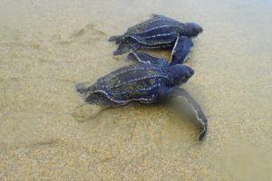 Baby Turtles, Cotton Bay