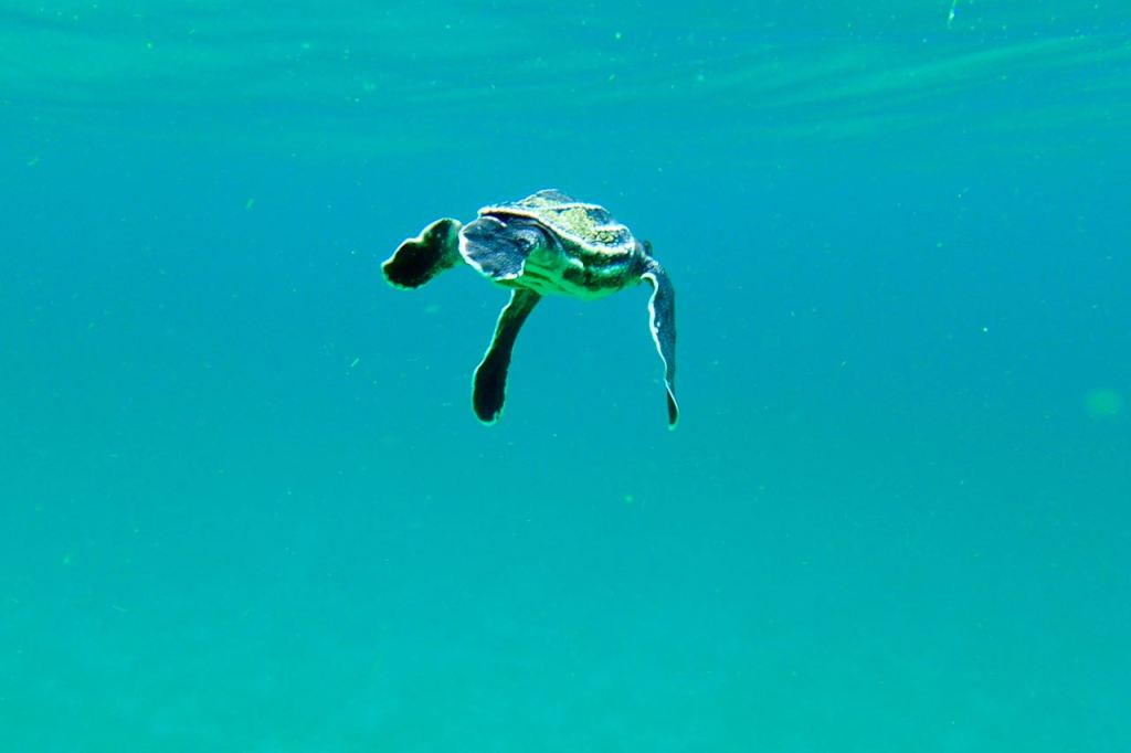 A Turtle first Swim in the Ocean
