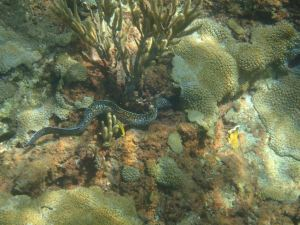White Spotted Eel Tobago