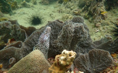 Spotted Moray Eel on Zoe Snorkeling Tours