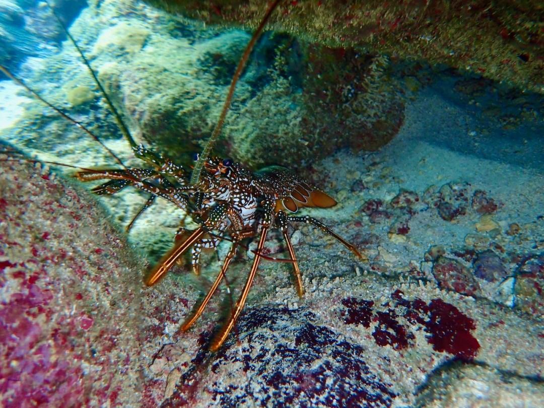 lobster tobago