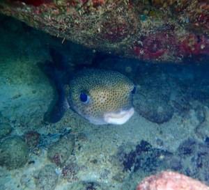 Puffer Fish Tobago