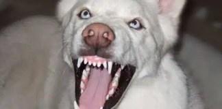 Agressive Husky