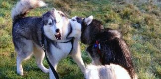 Husky biting another husky