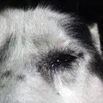 Huskies Swollen Eye
